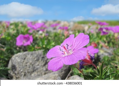 Field of wild flowers under the blue sky on the rocky Mølen beach in Norway - background