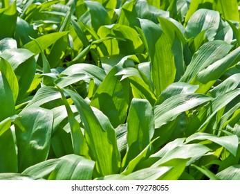 Field of wild garlic (allium ursinum)