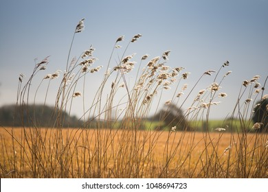 field of wild grass blowing and waving in the wind with bright sunlight looking like an arable crop with farm buildings in background