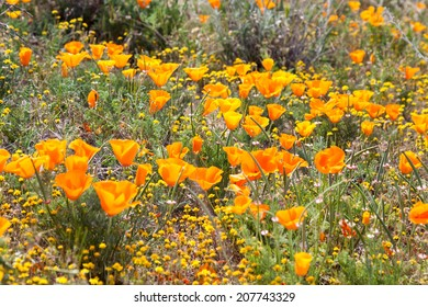 Field of Wild Orange Poppies