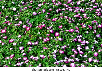 Field of wild rose or wild rose flowers with green leaves at closeup range.