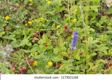 field of wild strawberries in the Altai mountains memory