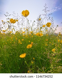 A field of wild, yellow buttercups taken at ground level in a meadow in Herefordshire, UK