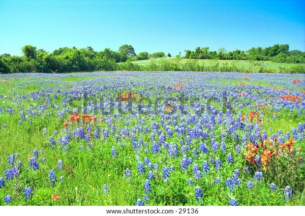 Field of Wildflowers: Bluebonnets and Indian Paintbrush