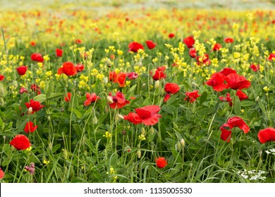 Field of wildflowers with poppies