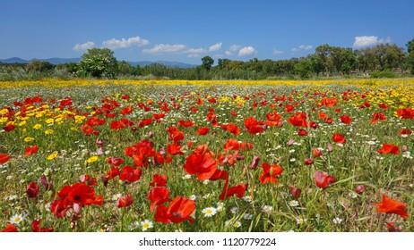 Field of wildflowers with poppies, corn marigold and corn chamomile, Spain, Alt Emporda, Girona, Catalonia
