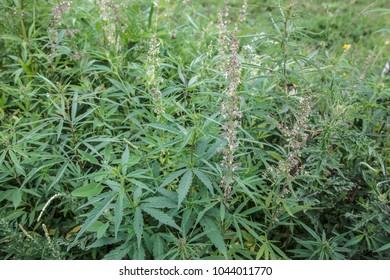A field of wild-growing hemp