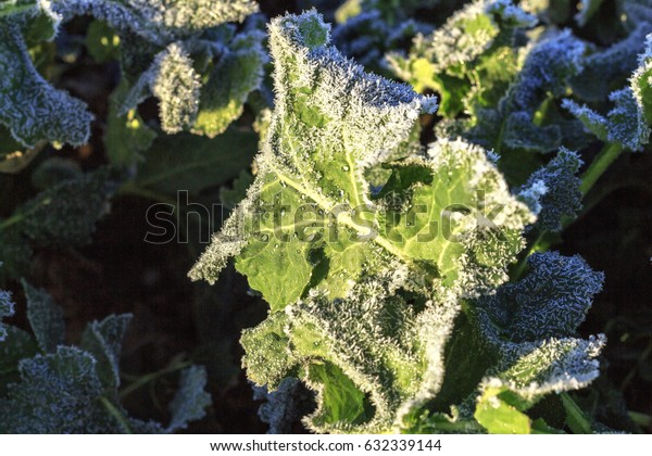 The field of winter rape in spring is covered with hoarfrost
