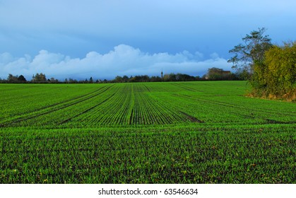 A field of winter wheat in autumn