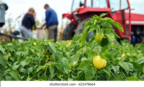 Field Workers Harvesting Yellow Bell Pepper. Seasonal harvest of vegetables in the countryside. Group of workers picking bell pepper at the plantation beside tractor.