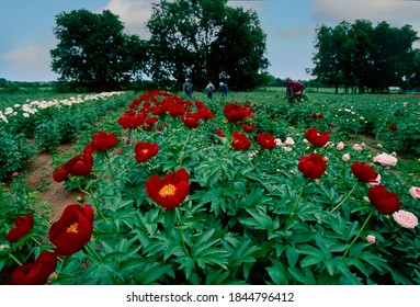 Field workers tend to commercially grown peonies in the Missouri Ozarks