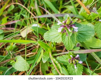 Field woundwort or staggerweed, Stachys arvensis, growing in Galicia, Spain