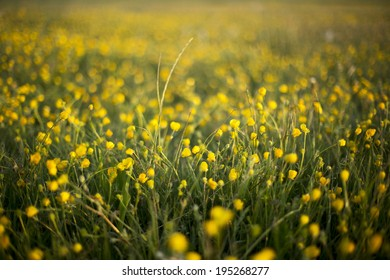 Field of yellow buttercups early in the morning at Hengistbury head nature reserve, Dorset, England, UK - spherical bokeh
