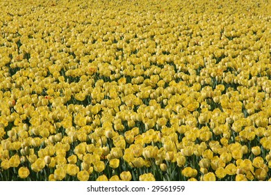 a field of yellow colored tulips in bloom.