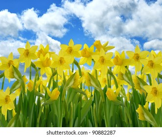 A Field Of Yellow Daffodil Flowers Against A Blue Sky