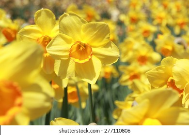 Field of yellow daffodils or yellow narcissus or suisen