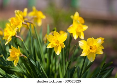 field of yellow daffodils or narcissus or suisen