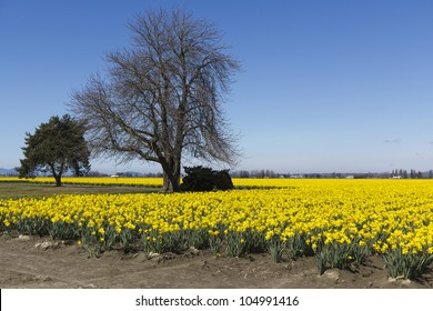 A field of yellow daffodils and trees with blue sky and little clouds