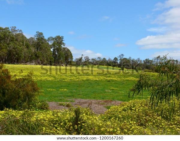 Field of yellow daisies Western Australia