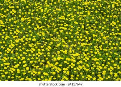 Field of yellow dandelion background