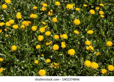 field of yellow dandelion, taraxacum, blowball flowers