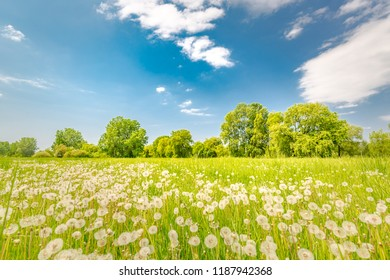 Field with yellow dandelions and blue sky. Dandelions close-up on nature in spring against backdrop of summer field blue sky. Landscape, seeds of dandelions, template for summer spring. Inspire nature