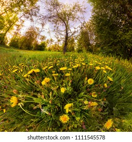 Field of yellow dandelions in a green forest at sunset. Panorama