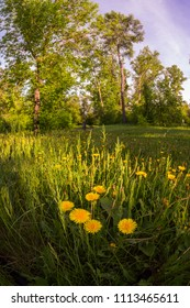 Field of yellow dandelions in a green forest at sunset