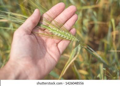 Field of yellow ears of rye. Ear of rye in hand