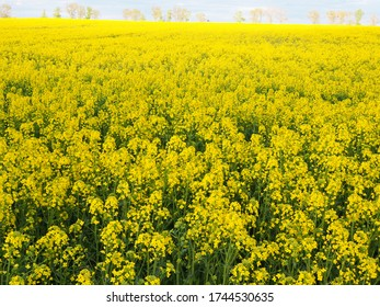 Field of yellow flowers, blooming canola