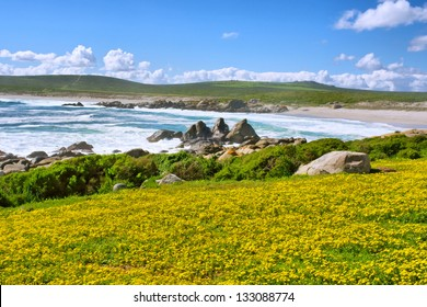Field of yellow flowers next to sea beach. Shot in West Coast National Park, near Langebaan, Western Cape, South Africa.