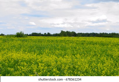 Field with yellow flowers on the background of the forest