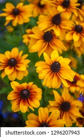 Field of yellow flowers of orange coneflower also called rudbeckia, perennial black-eyed susan. Latin name - Rudbeckia hirta.