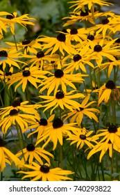 Field of yellow flowers of Orange Coneflower also called Rudbeckia, Perennial black-eyed Susan 'City Garden' (Rudbeckia fulgida var. sullivantii)