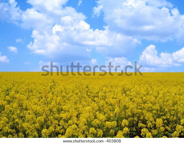 Field of yellow flowers under blue sky. Please visit my gallery for more landscape and artistic pictures.