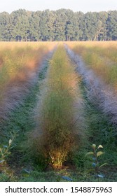 field with yellow and green coloured asparagus plants in early morning light (low depth of field)