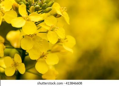 Field of yellow mustard seed flowers
