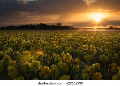 Field of yellow Narcissus during sunrise in Holland