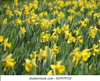 field of yellow narcissuses in April garden in Dresden, Saxony