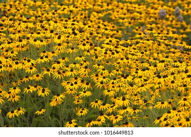 field of yellow orange black eyed Susan flowers
