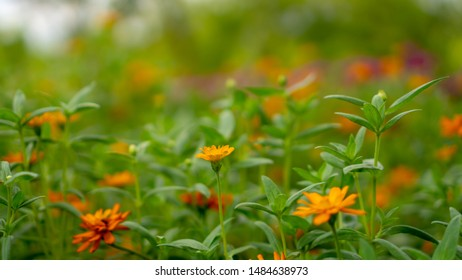 Field of yellow and orange petals of Narrowleaf Zinnia blooming on small bud and green leaves, know as Classic Zinnia is an annual flowering plant in Asteraceae family, selective focus image