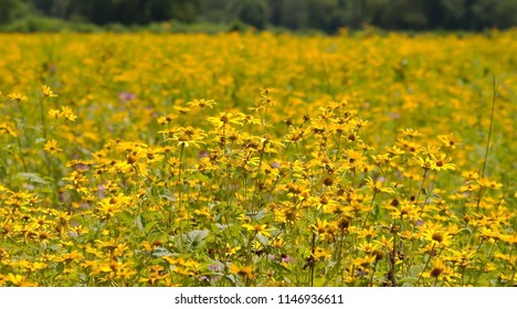 A field of yellow Ox Eyed daisies in Pennsylvania with a blurred background