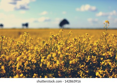 Field of yellow rapeseed in a countryside with beautiful sky background