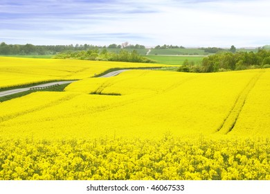 A field of yellow Rapeseed, Denmark