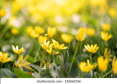 Field of yellow spring flowers