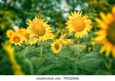 Field of yellow sunflowers.