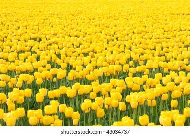 field of yellow tulips