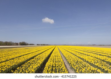 field of yellow tulips with blue sky and cloud in the dutch province of flevoland