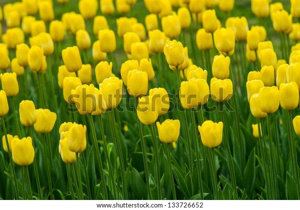 A field of yellow tulips, Yellow and green