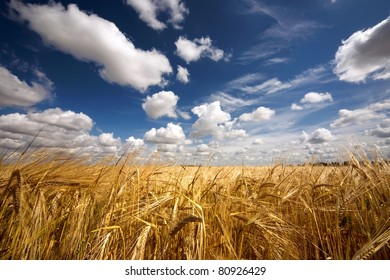 field of yellow wheat and cloud in the sky